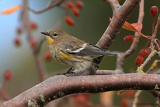 Yellow-rumped Warbler | Paruline à croupion jaune