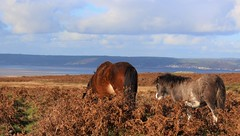 Cefn Dice and Daughter (gowerponies) Tags: gower pony experience cefn bryn reynoldston swansea wales galles welsh mountain ponies section a wild hill feral horses horse cavallo cheval caballo pferd