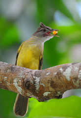 Palawan Bulbul (theviewfinder) Tags: palawan bulbul elnido phil philippines midhunthomas midhunjohnthomas d3s nikon nikon300mmf4 alophoixusfrater fbwnewbird