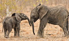 Young Elephants at Play (Jeff Clow) Tags: 2016 africa jeffclowphototours mothernature october southafrica natural nature outdoors outside travel wild wildlife elephants youngelephants sabisands
