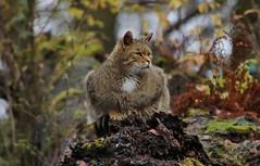 Wild Cat (Hugo von Schreck) Tags: hugovonschreck outdoor cat wildkatze wildcat germany europe yourbestoftoday canoneos5dsr tamron28300mmf3563divcpzda010