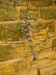 Kugel-Mikado (Jrg Paul Kaspari) Tags: kugelmikado schlehe mauer prunus spinosa fruit prunusspinosa frucht blau blue blaue kugel kugeln bowls