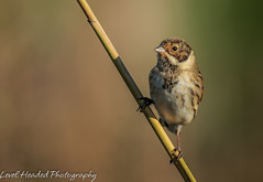 Reed bunting - Male (Emberiza schoeniclus) (hunt.keith27) Tags: taken somerset levels reedbunting reed bunting male bird sunshine bokeh feathers beak distinguishedpictures