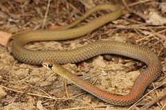 Yellow Faced Whip Snake (Mitch Thorburn) Tags: yellow faced whip snake demansia psammophis brays creek nsw mt warning numinbah valley seq qld ne