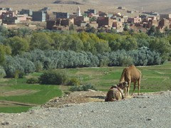 Camels between Erfoud and Tinghir (alanaplin) Tags: morocco camels