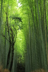 Sagano Bamboo Forest (cattan2011) Tags:   bambooforest saganobambooforest kyoto japan trees travelblogger travelphotography traveltuesday travel landscapephotography landscape natureperfection naturephotography nature