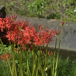 Red Spider Lilies thumbnail