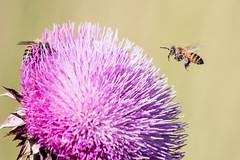 S/t (Leo Crdoba) Tags: abejas flor naturaleza vida polen