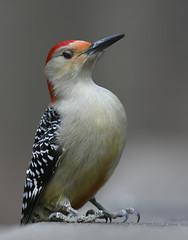 red bellied woodpecker (Mel Diotte) Tags: red bellied woodpecker ojibway park windsor