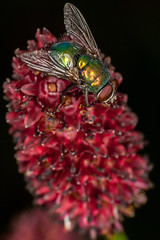 Red and Green - _TNY_6301 (Calle Sderberg) Tags: macro canon canon5dmkii canonef100mmf28usmmacro canoneos5dmarkii raynox dcr250 yn14ex yongnuo flash ringflash insect flower blackbackground fly blowfly calliphoridae blodtopp red burnet greatburnet sanguisorba officinalis green metallic shiny wings