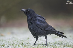 Chilly Carrion Crow (Mick Erwin) Tags: carrion crow corvid stoke staffordshire westport lake d810 500mm f4