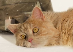 Daydreaming (FocusPocus Photography) Tags: linus katze kater cat chat gato tier animal haustier pet