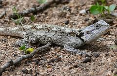 Southern Tree Agama (Acanthocercus atricollis) female (berniedup) Tags: lowersabie kruger southerntreeagama acanthocercusatricollis lizard agama taxonomy:binomial=acanthocercusatricollis