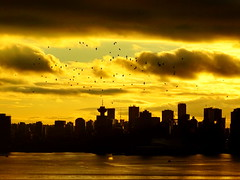 Sunset flight of a murder of crows (+3) (peggyhr) Tags: peggyhr sunset crows cityscape skyline silhouettes clouds harbour burrardinlet dsc09319a vancouver bc canada series 30faves~ level1photographyforrecreation musictomyeyes~l1 level2photographyforrecreationsilveraward visionaryartsgallerylevel1 charliesgrouplevel1 niceasitgets~level1 thegalaxy super~sixbronzestage1 niceasitgets~level2 infinitexposurel2 thelooklevel1redaddphotos thelooklevel2yellow favtop5099 thegalaxyhalloffame visionaryartsgallerylevel2 charliesgrouplevel2 charliesgrouplevel3