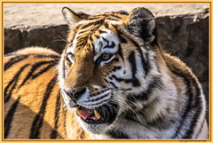 I am a tiger (DirkVandeVelde back) Tags: europa europ europe belgie belgium belgica belgique biologie buiten antwerpen anvers antwerp animalia animal mammalia zoo zoogdieren tijger tiger roofdieren fauna carnivora vleeseter sony
