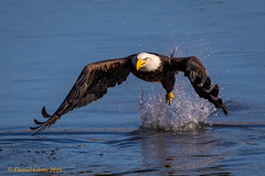 Successful grab! (danielusescanon) Tags: wild bif fishing mature baldeagle conowingodam maryland haliaeetusleucocephalus birdperfect animalplanet