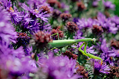 Flower Field / Virg mez (nicolettaraschella) Tags: flower field prayingmantis colors beautiful nicolettaraschella nikon animal macro macrophotograpy nikond3200 naturephotography