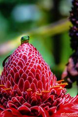Hi! (gvonwahlde) Tags: hawaii gecko golddustdaygecko flower bigisland canon vonwahlde