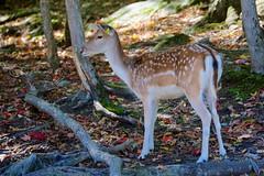 Sika Deer (Cervus nippon) @ Le Parc Omega (Jeannot7) Tags: sikadeer parcomega montebello québec