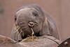 asiatic elephant Sanuk Artis JN6A3392 (j.a.kok) Tags: sanuk olifant elephant asiaticelephant aziatischeolifant elephasmaximus azie asia mammal zoogdier herbivor artis