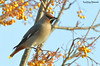 Bohemian Waxwing, Bombycilla garrulus (Midlands Reptiles & British Wildlife Diaries) Tags: bohemian waxwing bombycilla garrulus rowan berry yellow ornithology scandanavia scandanavian birdlife biddulph moor david nixon fauna forest ecology ltd canon 7dmkii 600mmf4 1x4 converter winter sun