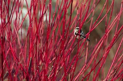 Red Forest (elizunseelie) Tags: nature bird birds wildlife wild glasgow scotland pentax k5 dslr winter cold ice park city scottish red bush branches finch wagtail tiny small delicate barebranches crimson scarlet