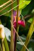 Roofus-Tailed Hummingbird Having Lunch (jeff_a_goldberg) Tags: araambigualodge hummingbird sarapiqui roofustailedhummingbird naturalhabitatadventures winter nathab costarica puertoviejo heredia cr