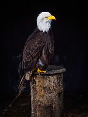 PA141013 (marcel_reimann) Tags: animal bayern deutschland eagle adler baldeagle tier wildpark wildlifepark weisskopfseeadler tambach weiskopfseeadler weitramsdorf