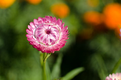 DSC_7621 (sir.yoga) Tags: flowers bratsk easternsiberia