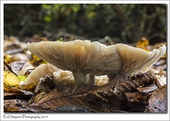 Large Gilled Mushrooms (Paul Simpson Photography) Tags: autumn color colour fall mushroom leaves mushrooms leaf colours fungi naturalworld autumnal fungal naturephotos lotsof photosof imageof normanbypark photoof imagesof sonya77 paulsimpsonphotography october2014