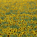 Macedonia, Vevi village, sunflower field, Greece #Μacedonia