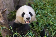 Mama panda Bai Yun (kent.c) Tags: china usa canon us panda sandiego bamboo sd socal endangered southerncalifornia sandiegozoo balboapark endangeredspecies sdzoo panda female kentc canon5dmarkiii 5dmarkiii zoohabitat bai kentcphotography yun