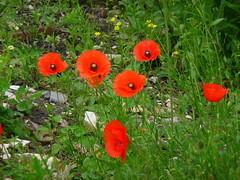 Coquelicot Rouge (anng48) Tags: du souvenir poppy redpoppy dayjour coquelicotrememberance