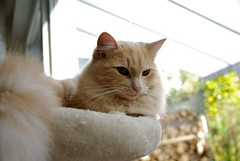Tobbi  Portrait At Window II (frankbehrens) Tags: cats tom cat chats chat gatos gato katze katzen kater