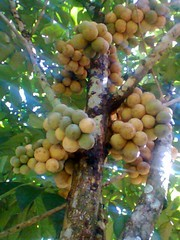 Lanzones or Bulahan (josalhed) Tags: fruit philippines polanco fruite lanzones dipolog