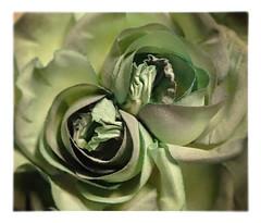 rose (HER.Cha.) Tags: paris france flower fleur rose brooch dyeing corsage fleuriste   artificielle