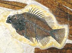 Priscacara liops fossil fish (Green River Formation, Lower Eocene; Fossil Lake Basin, southwestern Wyoming, USA) 1 (James St. John) Tags: fish green river fossil butte formation perch member wyoming eocene priscacara