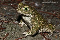 Bufo calamita male (David Herrero Glez.) Tags: madrid canon amphibian toad sapo corredor herpetology bufo calamita anura natterjack 100d anure epidalea