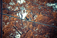 Squirrel (Noth1ng 2 Off3r) Tags: autumn red brown fall colors animal electric season squirrel foliage wires