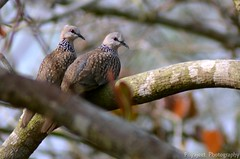 Spotted_dove_02 (Jyotiprasads) Tags: birds commonbirds birdsofodisha odishabirds