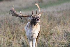 Victory Grunt (A.Tongue Photography) Tags: autumn leicestershire leicester victory victor deer antlers bark fallowdeer autumnal fallow grunt dominant rut bradgatepark victorious bradgate