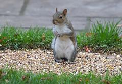 (birdfan2) Tags: squirrel
