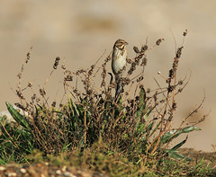 Reed Bunting,on the edge of Clubley's Field,Spurn Point,East Yorkshire. (Juncea) Tags: reed point yorkshire east bunting spurn