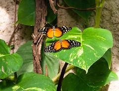 DSC_0678 (subtrahierer) Tags: nature butterfly zoo tiere wildlife natur tiergarten nrnberg schmetterling tropenhaus