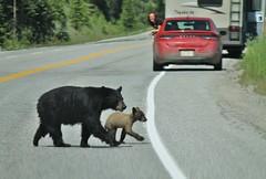 Kootenay NP ~ Mama & cub crossing (karma (Karen)) Tags: canada topf25 britishcolumbia bears roadcrossing canadianrockies canadiannationalparks cmwdred kootenaynp momandcub