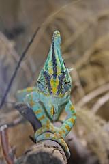 Chamäleon 2 (HelenaChristina2003) Tags: chameleon reptil chamäleon