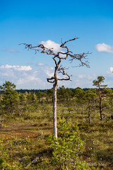 Mnnikjrve bog (Mario Mesi) Tags: nature canon estonia bog eesti loodus raba 5dmk3 nigularaba mnnikjrveraba