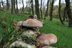 Birch Bracket IMG_0058 xa (Adrian Dancy) Tags: nature wildlife fungi canon1855mmlens birchbracket canon7d