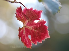 one and only (Kazooze) Tags: red fall nature garden leaf bokeh grapevine diamondclassphotographer flickrdiamond