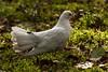 White Dove Grass (leppre) Tags: autumn ireland leaves forest dove autumnleaves forestfloor donegal muff inishowen whitedove lisnagraforest autumn2014